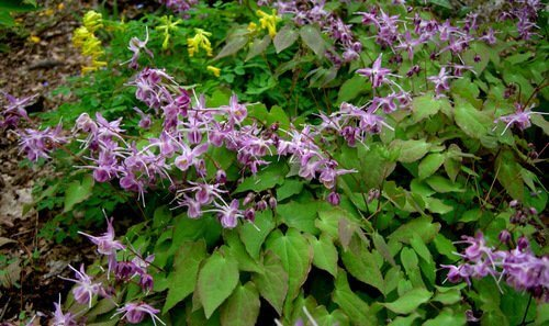 Horny Goat Weed And What It Can Do For Kidney Disease